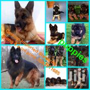 Pure Imported Foreign German Shepherd. | Dogs & Puppies for sale in Greater Accra, Asylum Down