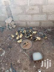 Duckling | Other Animals for sale in Central Region, Awutu-Senya