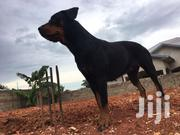 Rottweiler Female Adult | Dogs & Puppies for sale in Greater Accra, Adenta Municipal