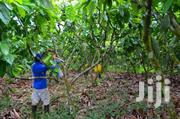 Cocoa Farm For Sale | Land & Plots For Sale for sale in Western Region, Sefwi-Wiawso