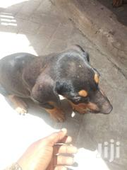 Mixed Breed Rotweiler | Dogs & Puppies for sale in Greater Accra, Teshie new Town