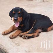 Pure Doberman | Dogs & Puppies for sale in Greater Accra, Tema Metropolitan