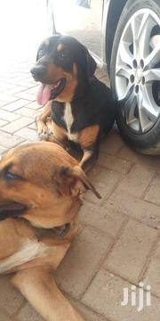 Mixed Breed Rottweiler | Dogs & Puppies for sale in Greater Accra, Teshie new Town