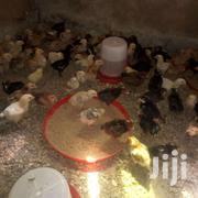 Kuroiler | Other Animals for sale in Eastern Region, Akuapim South Municipal