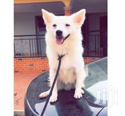 Japanese Spitz | Dogs & Puppies for sale in Greater Accra, Dansoman