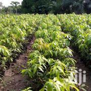 SIR JUU MANGO SEEDLINGS | Feeds, Supplements & Seeds for sale in Eastern Region, Yilo Krobo