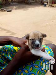 Local Dogs For Sale | Dogs & Puppies for sale in Greater Accra, Kotobabi