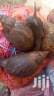 Supper Fresh Snails For Sale ,Local And Export | Livestock & Poultry for sale in Ga South Municipal, Greater Accra, Ghana