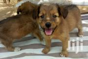 Shepherd Mixed With Beagle (Female) Forsale | Dogs & Puppies for sale in Greater Accra, Cantonments