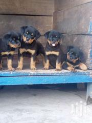 Rottweiler Puppies | Dogs & Puppies for sale in Western Region, Ahanta West