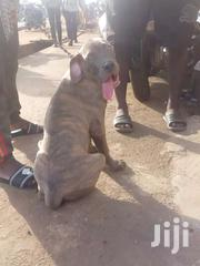 Mastiff Puppy | Dogs & Puppies for sale in Western Region, Ahanta West