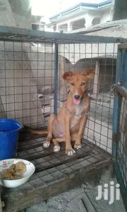 Mongrel Dog For Sale | Dogs & Puppies for sale in Ashanti, Ejisu-Juaben Municipal