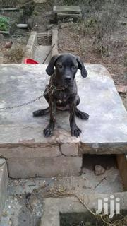 Bull Mastiff | Dogs & Puppies for sale in Central Region, Agona West Municipal