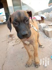 Imported Male Boerboel | Dogs & Puppies for sale in Greater Accra, Asylum Down