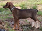 Security Dogs | Dogs & Puppies for sale in Greater Accra, South Labadi