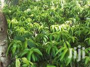 High Quality Grafted Mango Seedlings | Feeds, Supplements & Seeds for sale in Ashanti, Ahafo Ano South