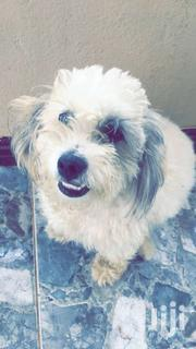 DOG(POODLE), 8 Months | Dogs & Puppies for sale in Greater Accra, East Legon