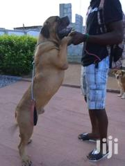 Mastiff For Crossing | Dogs & Puppies for sale in Greater Accra, Achimota