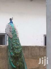 Day Old Chicks And Peacocks | Livestock & Poultry for sale in Greater Accra, Accra Metropolitan