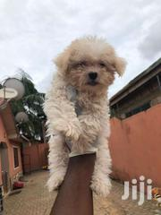Female Maltese | Dogs & Puppies for sale in Greater Accra, Odorkor