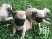 Pure Breed Pug Puppies For Sale | Dogs & Puppies for sale in Greater Accra, Dzorwulu