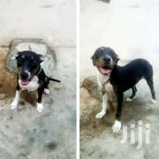 Pitbull On Sale! | Dogs & Puppies for sale in Greater Accra, Kwashieman