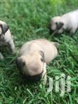 Pure Breed Pug Puppies For Sale | Dogs & Puppies for sale in Dzorwulu, Greater Accra, Nigeria