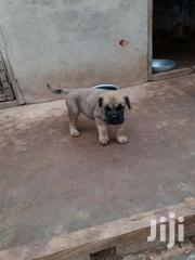 Boer Boel Puppies | Dogs & Puppies for sale in Ashanti, Kumasi Metropolitan