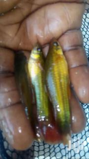 Yellow Swordtail | Other Animals for sale in Greater Accra, Ga West Municipal