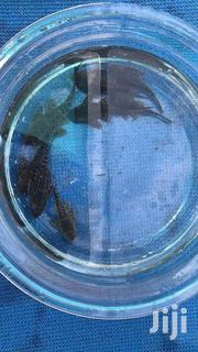 Algea Eater | Other Animals for sale in Greater Accra, Ga West Municipal