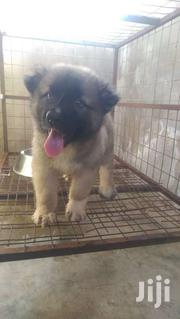 Pedigree Male Caucasian Shepherd Puppy | Dogs & Puppies for sale in Greater Accra, Airport Residential Area