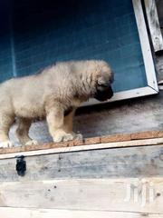 Pedigree Caucasian Shepherd Puppies | Dogs & Puppies for sale in Greater Accra, Airport Residential Area