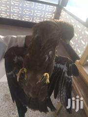 Eagle | Other Animals for sale in Greater Accra, North Kaneshie