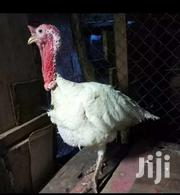 Hybrid Netherlands Turkey | Livestock & Poultry for sale in Ashanti, Amansie Central