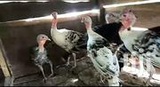 Middle Age Hybrid Netherlands Turkeys | Livestock & Poultry for sale in Ashanti, Amansie Central