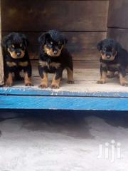Rottweiler Puppy For Sale | Dogs & Puppies for sale in Ashanti, Afigya-Kwabre