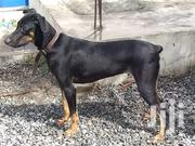 Doberman | Dogs & Puppies for sale in Greater Accra, Adenta Municipal