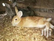 Giant Hybrid Breed Rabbits | Livestock & Poultry for sale in Ashanti, Amansie Central