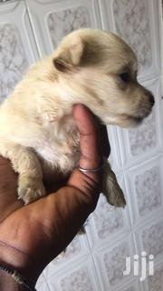 Poodle Terrier For Sale | Dogs & Puppies for sale in Greater Accra, East Legon