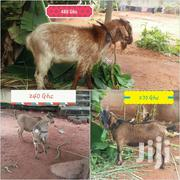 Goats For Sale | Livestock & Poultry for sale in Greater Accra, Ga South Municipal