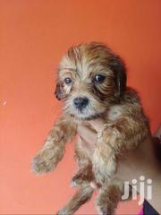 Male Lhasa Dogs For Sale | Dogs & Puppies for sale in Greater Accra, Accra Metropolitan