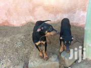Doberman Pinscher Puppies  For Sale | Dogs & Puppies for sale in Greater Accra, Achimota