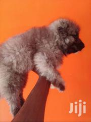 Male Caucasian Dog | Dogs & Puppies for sale in Greater Accra, Accra Metropolitan