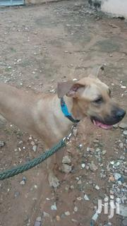 Female  Boerboel With Her Health Card ( Mixed Breed) | Dogs & Puppies for sale in Greater Accra, New Mamprobi