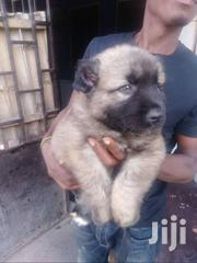 Imported Male Caucasian | Dogs & Puppies for sale in Greater Accra, Accra Metropolitan