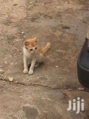 Cats For Sale For Pets | Cats & Kittens for sale in Greater Accra, Odorkor