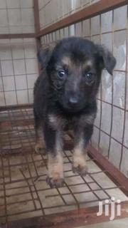 Full Breed German Shepherd Puppies | Dogs & Puppies for sale in Greater Accra, Airport Residential Area