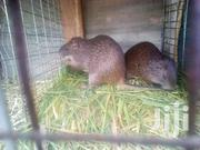 Grasscutters For Breeding | Livestock & Poultry for sale in Greater Accra, Adenta Municipal