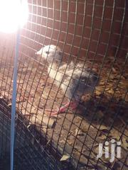 Turkey's Day Old (Ready)   Livestock & Poultry for sale in Greater Accra, Agbogbloshie
