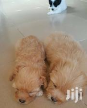 Yorkiepoo For Sale.. 8weeks | Dogs & Puppies for sale in Central Region, Awutu-Senya
